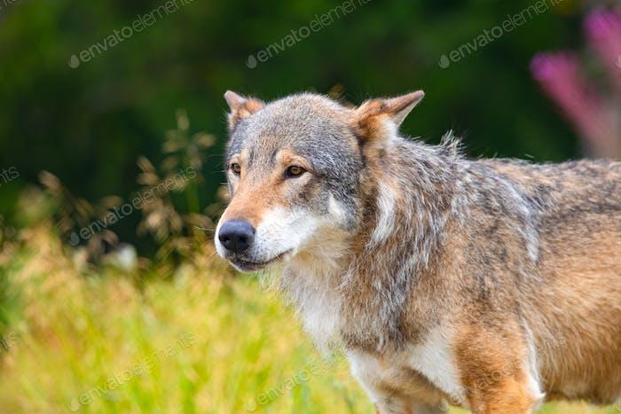 Großer männlicher grauer Wolf stehend auf einem Feld im Wald