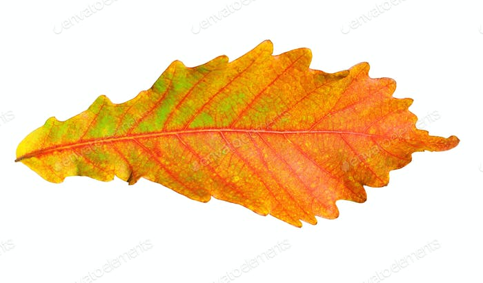 Close-up Of Autumn Oak Leaf On White