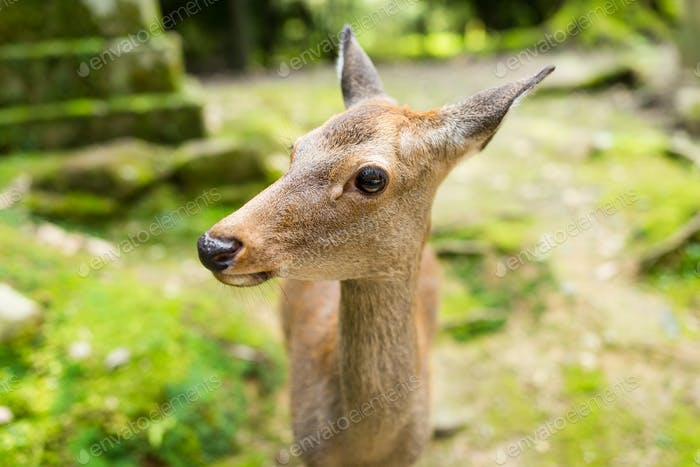 Japanese temple and deer
