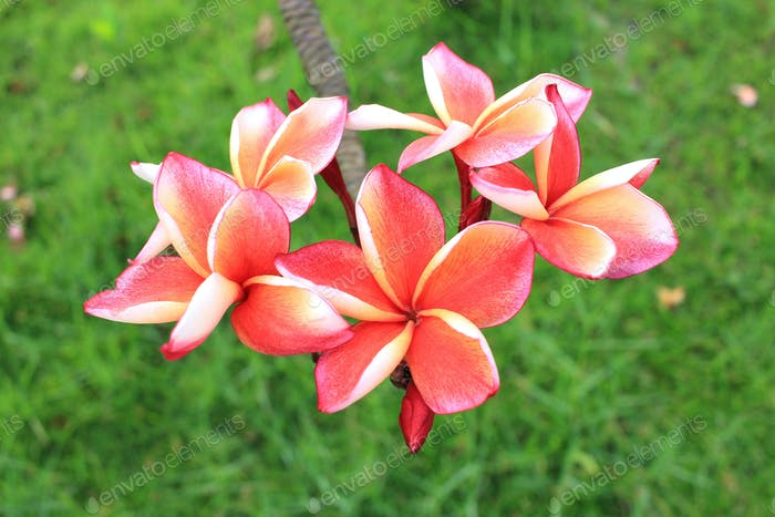 Pink frangipani flower on plant