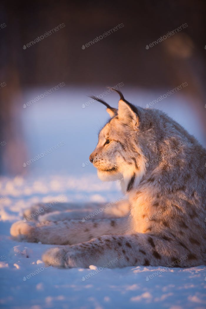 Lynx in the sunset