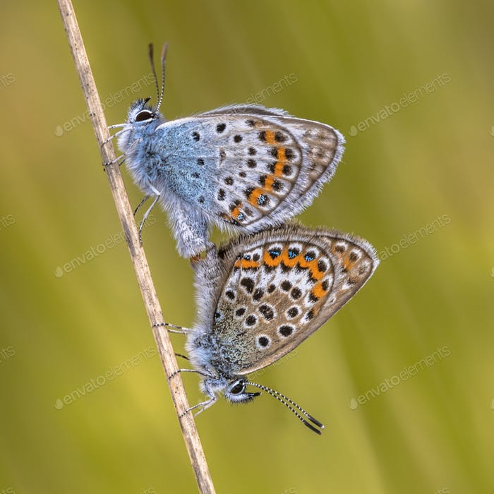 Pair of silver studded blue butterflies mating