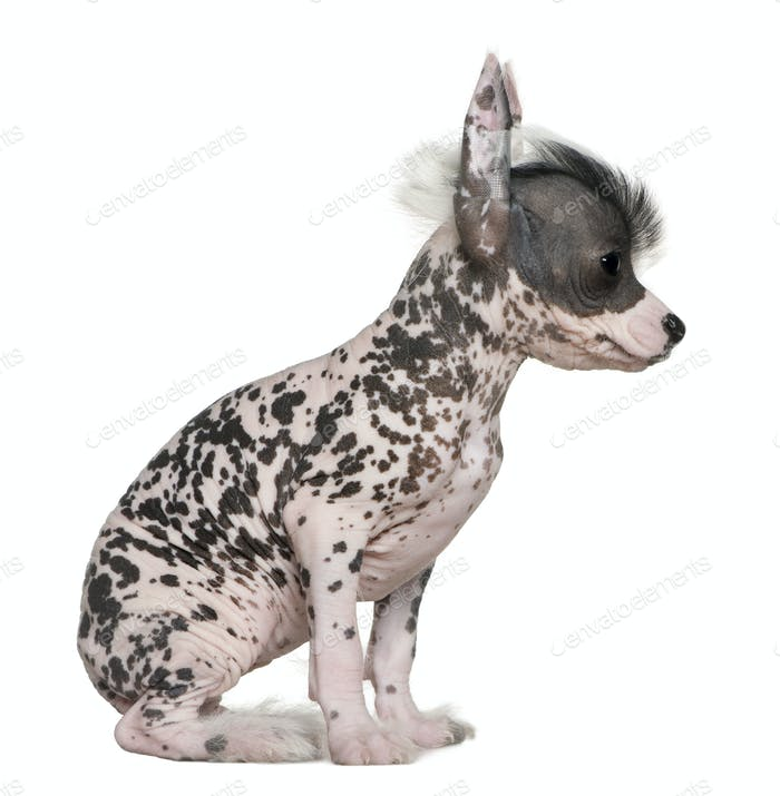 Chinese hairless crested dog, 6 weeks old, on table in front of white background