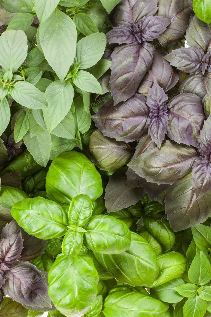 Basil herb leaves background close up.