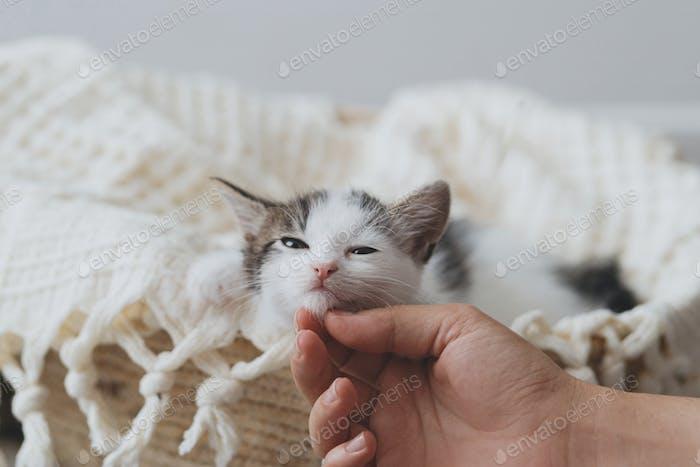 Hand caressing cute little kitten on soft blanket in basket. Portrait of adorable kitty. Adoption