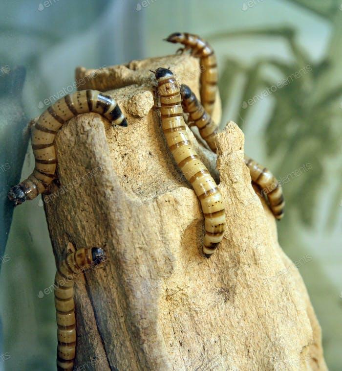 Große weiße Würmer kriechen auf einem trockenen Baum