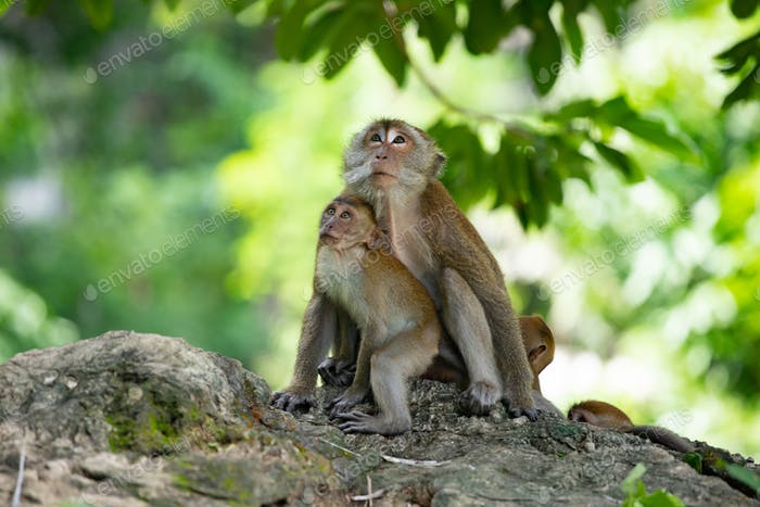 Macaque monkeys in the forest.