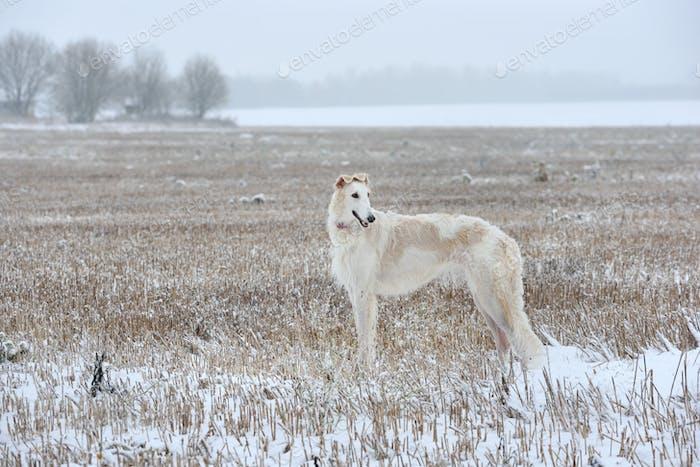 Hunting with borzoi dog