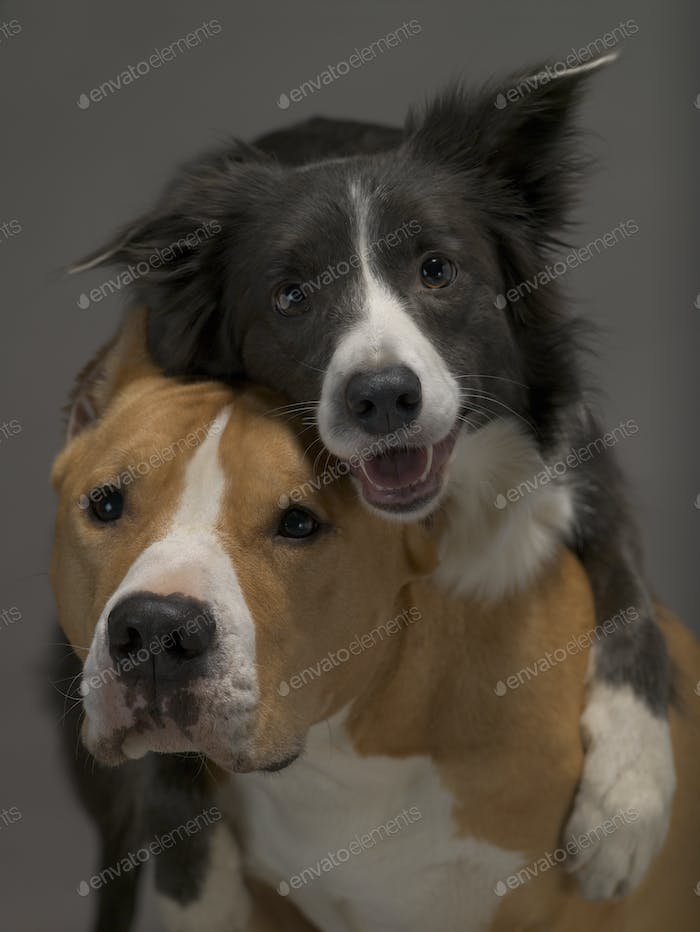 Two dogs, friends on a gray background, studio light