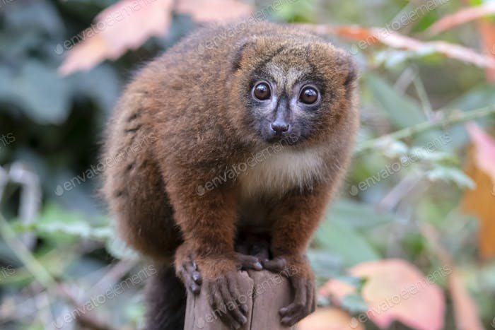 Red bellied lemur in natural habitat