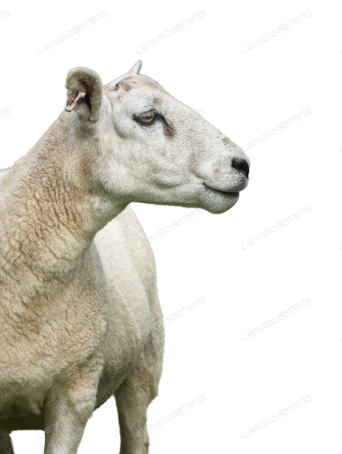 Isolated Sheep On White