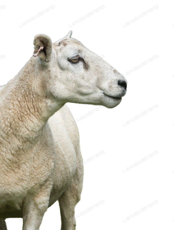 Isolierte Schafe auf Weiß