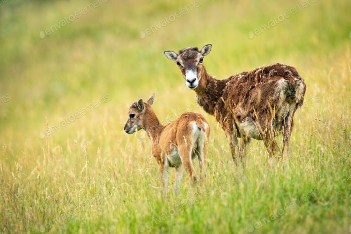 Protective mouflon ewe standing close to her young yeanling on meadow summer