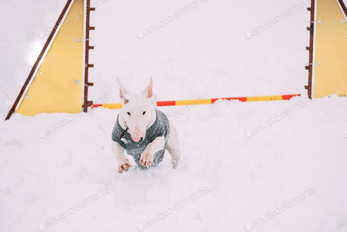 Funny Dog Young English Bull Terrier Bullterrier Puppy Dog Jumping Through Barrier In Snow Snowdrift