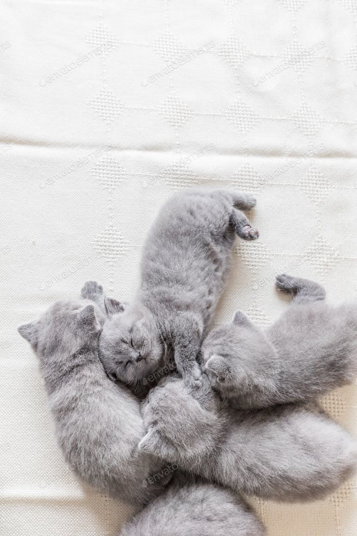 Lovely grey baby cats sleeping. British shorthair.