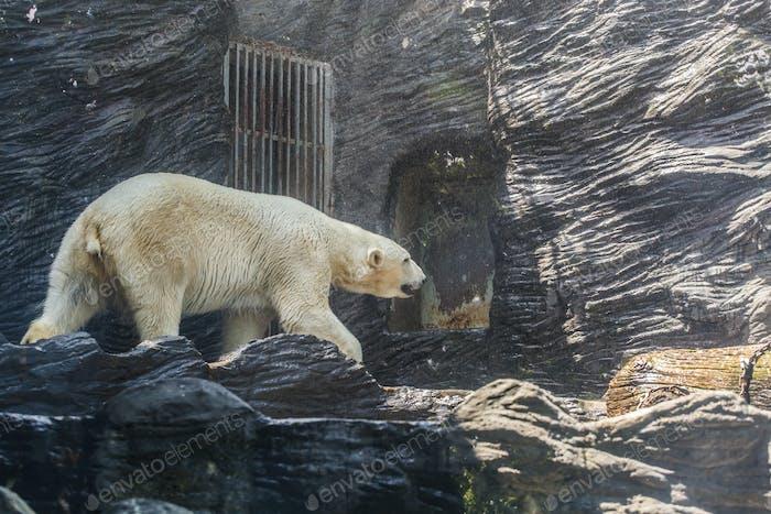 Oso blanco polar adulto grande. Concepto zoológico, animales salvajes y mamíferos