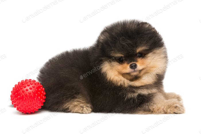 Small black Pomeranian puppy and ball