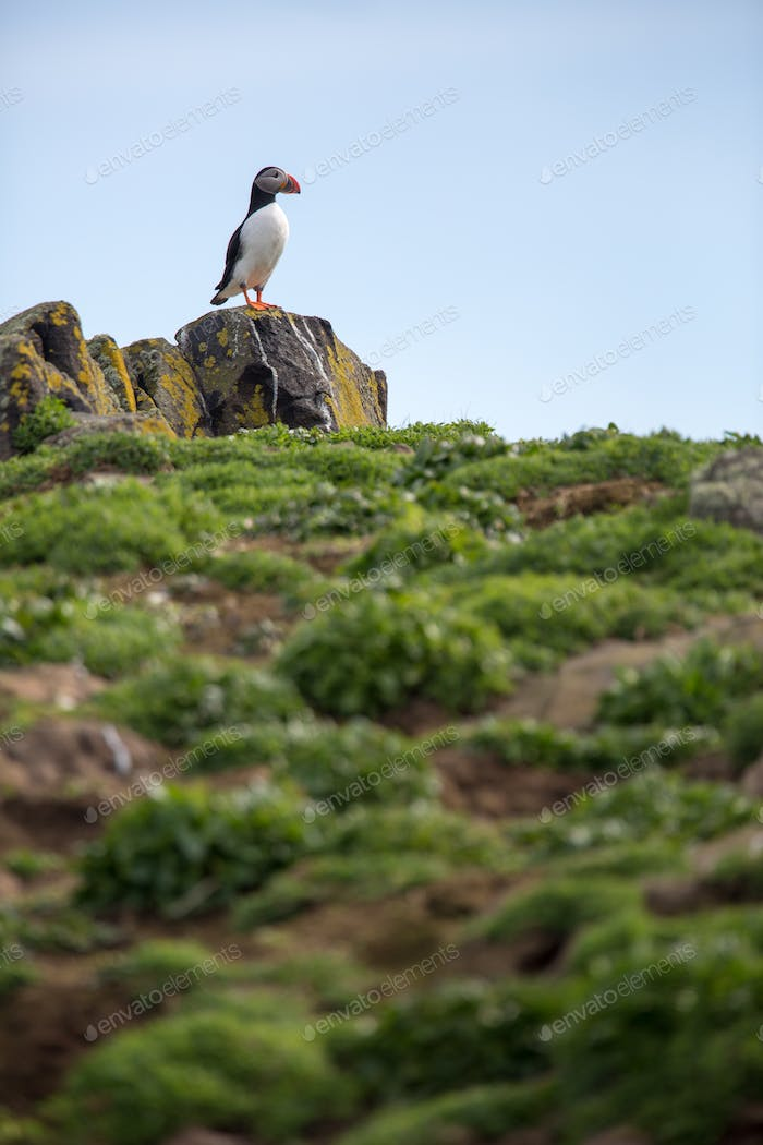 Puffins (Fratercula arctica), Isle of May, Schottland