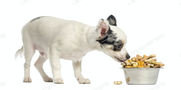 Chihuahua puppy eating dog biscuits from a bowl, isolated on white