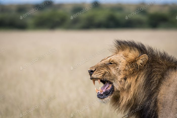 Big male Lion yawning in the CKGR, Botswana.