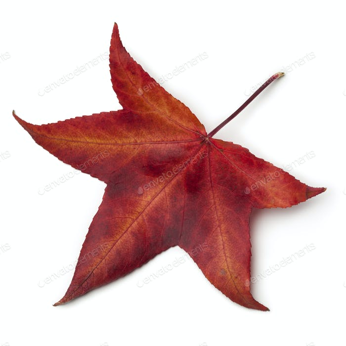 Red autumn leaf of an American sweetgum tree