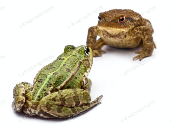Common European frog facing a common toad