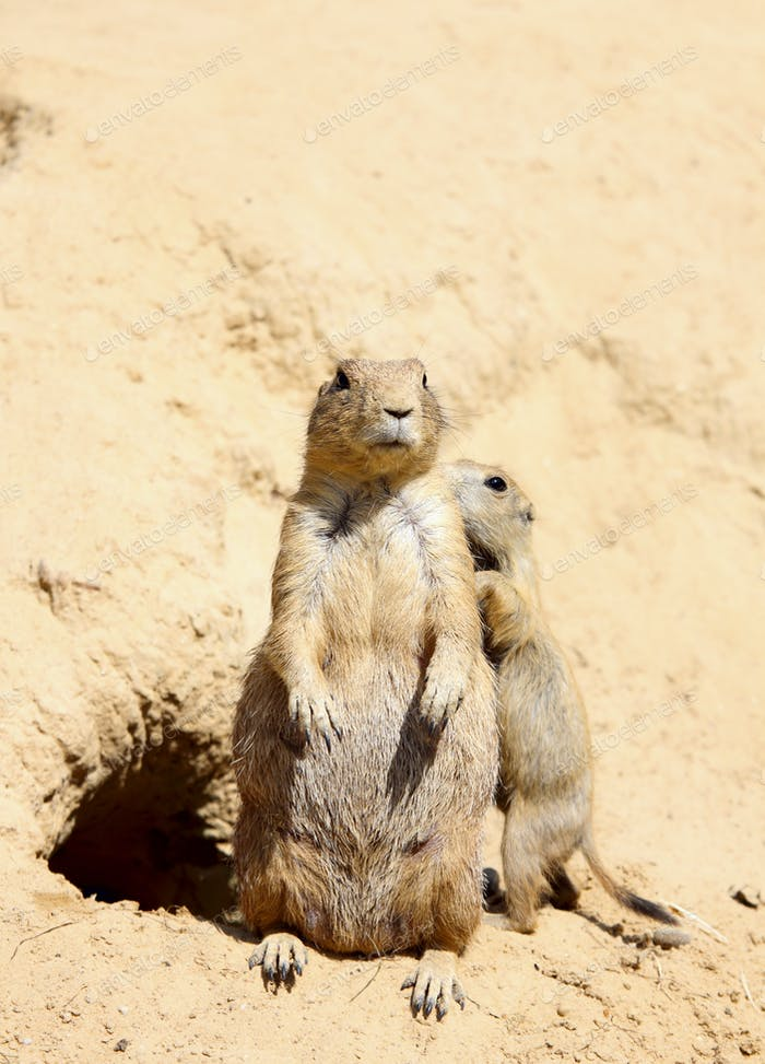 family of cute marmots