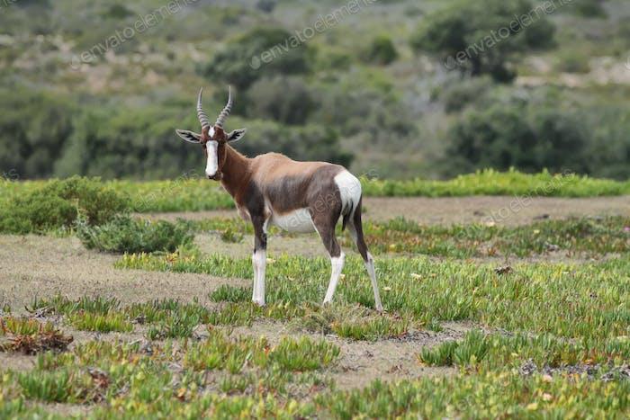 Bontebok in De hoop nature reserve