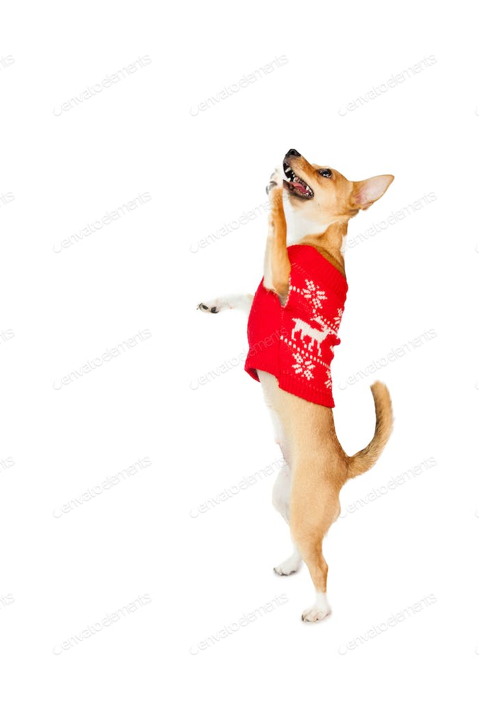 Cute festive dog with paws up on white background