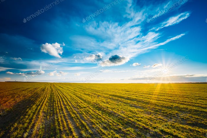 Green Barley Field, Early Spring. Agricultural Background.