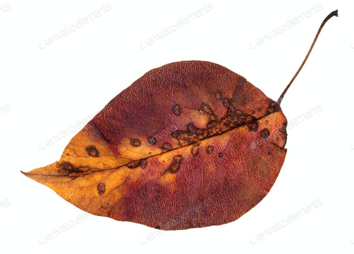 colorful rotten autumn leaf of apple tree isolated