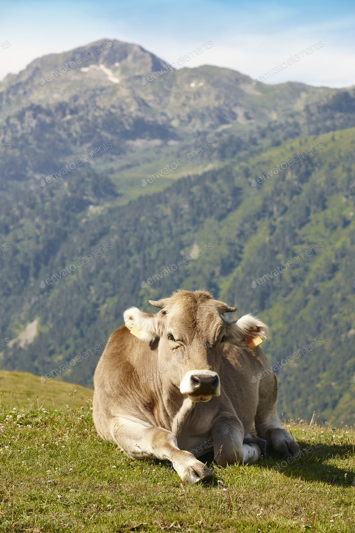 Cow grazing in the mountains. Livestock. Idyllic landscape. Cattle