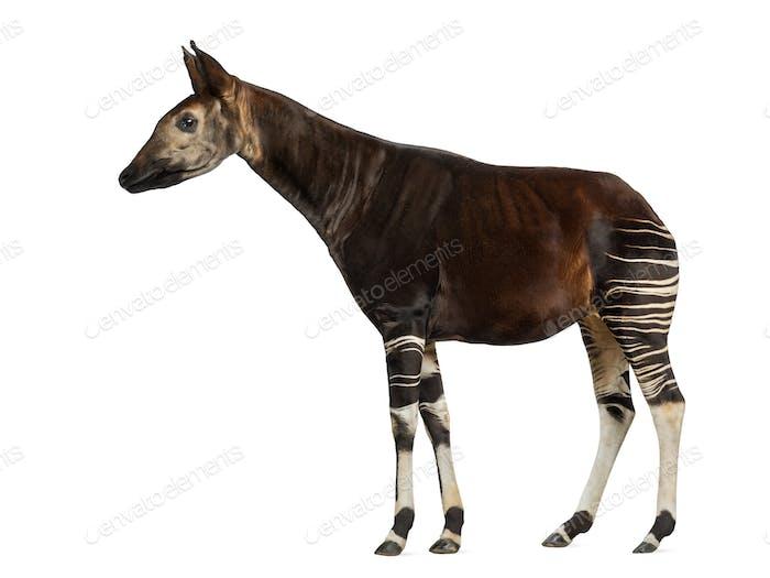 Seitenansicht eines Okapi stehend, Okapia johnstoni, isoliert auf weiß