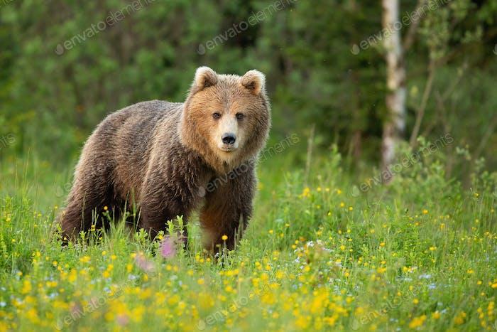 Braunbär steht auf blühender Lichtung in Frühlings-Natur