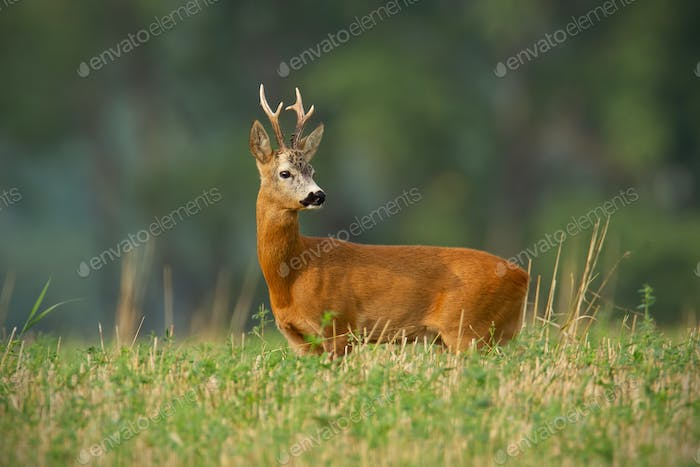 Roe deer, capreolus capreolus, buck with clear blurred background
