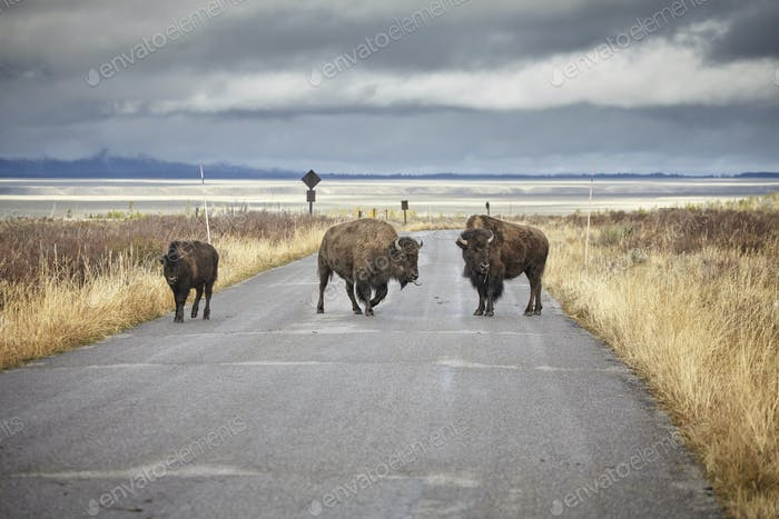American bison crossing road in Grand Teton National Park, Wyomi