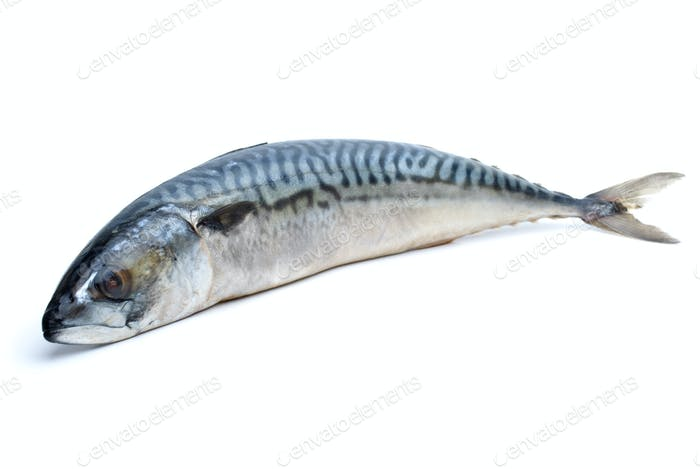 Single fresh mackerel fish
