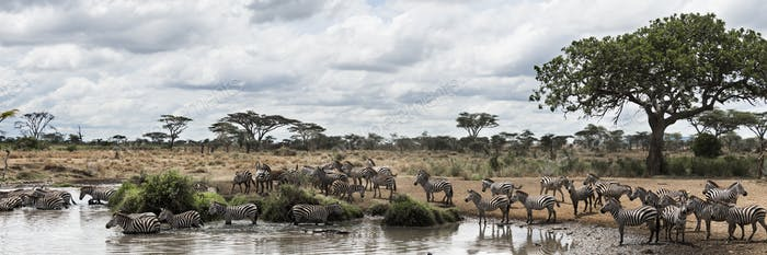 Herd of zebras resting by a river, Serengeti, Tanzania, Africa