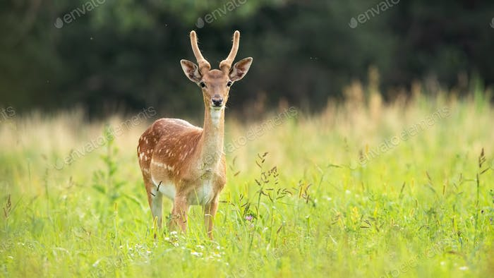 Immature fallow deer stag standing on meadow in summer