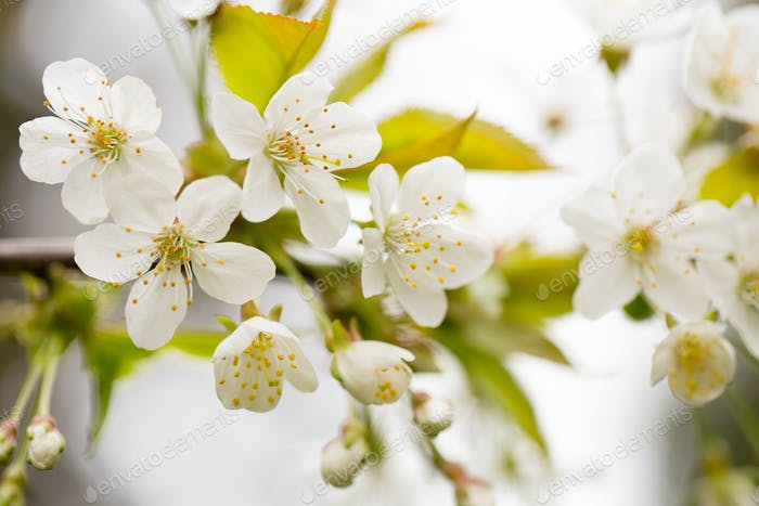 Cherry blossom in spring for background.