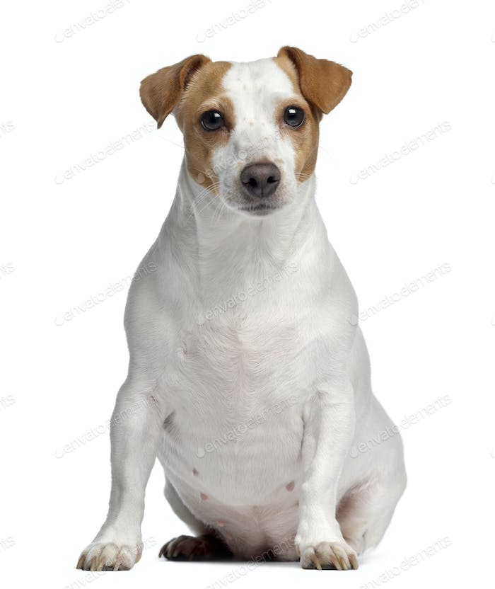 Jack Russell Terrier, 4 years old, sitting and facing, isolated on white