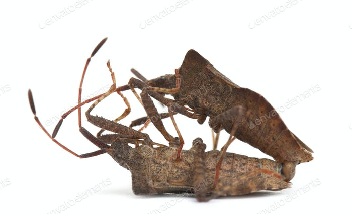 Dock bugs mating, Coreus marginatus, in front of white background