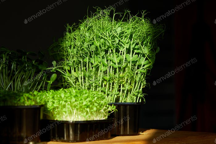 Different microgreens in the trays on wooden table, hard light