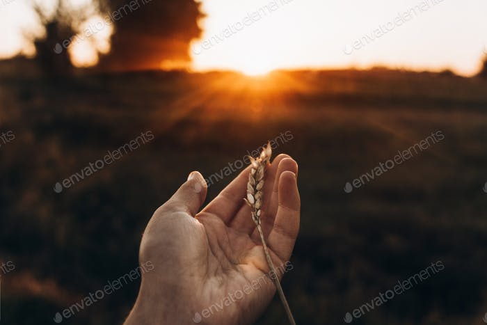 earth day concept. ear in hand in sunset rays in summer evening field