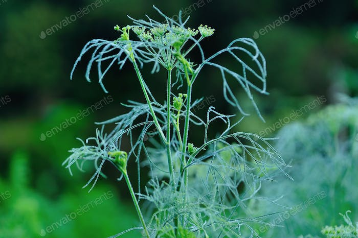 Fennel at spring garden
