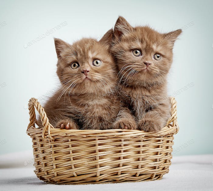 Two brown british shorthair kittens