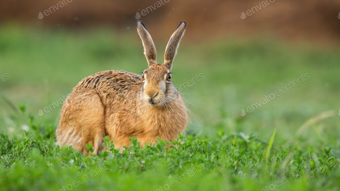 Brown hare staring from clover field in springtime nature