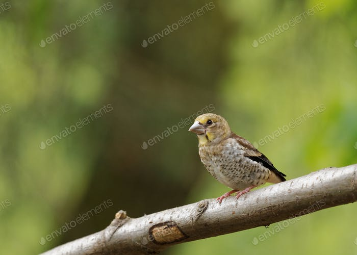 Young Hawfinch (Coccothrauses coccothrauses) sitting on the branch