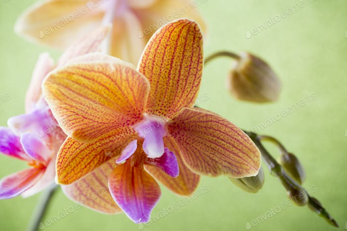 Orange orchid flower. Smooth back background. Studio photography.