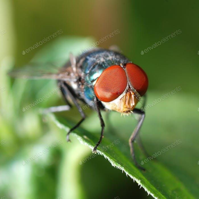 Insektenfliege Makro